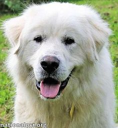Great Pyrenees Dog for adoption in Beacon, New York - Ainsley Beacon New York, Dog Of Flanders, Great Pyrenees Dog, Adoption Center, Dog Pictures, Pet Care, Pet Adoption, Best Dogs, Cute Animals