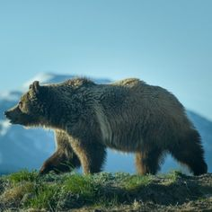 Facts at Instagram @TheCVF Grizzly by Charles Peterson. #2degree #GlobalWarming impact: As temperate #climate moves north in the US pine beetles kill off the #Whitebark forests the #GrizzlyBears key source of food in the fall via #NationalGeographic #CVFFacts
