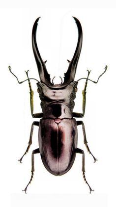 Cyclommatus imperator monguilloni