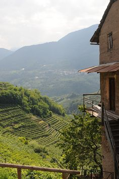 Vineyards+in+Italy | vineyards Vineyards in Italy in travel with vine nook italy grapes DIY