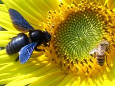 The largest species of bee, a carpenter bee (Xylocopa violacea). To the right is a honey bee.