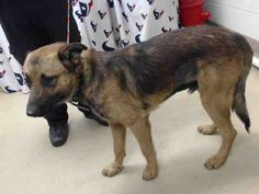 05/05/16--HOUSTON- -EXTREMELY HIGH KILL FACILITY - This DOG - ID#A458312 I am a male, brown and black German Shepherd Dog. The shelter staff think I am about 2 years old. I have been at the shelter since May 05, 2016. This information was refreshed 36 minutes ago and may not represent all of the animals at the Harris County Public Health and Environmental Services.