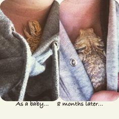 "So cute! ---""""Bearded dragon snuggling in a grey sweatshirt.. He's my baby ❤️❤️❤️"""""