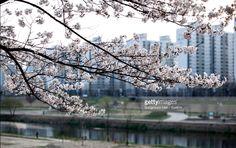 Cherry Blossoms in Anyangcheon, Seoul, South Korea (Photo by Eyepurifier, Alex SM Han)  http://www.gettyimages.com/search/2/image?phrase=Sungmoon&family=creative  #벚꽃 #안양천 #봄 #서울 #게티이미지  #landscape #spring #southkorea #Korea #gettyimages #cherryblossom #Seoul #tranquility #calm #Anyangcheon #nature #flower #rural #twig #tree #urban