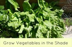 How To Grow Vegetables in the Shade