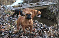 Continental Bulldog, Bulldog Breeds, Old English Bulldog, Adhd, Bulldogs, Puppys