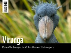 Über 1.000 Arten sind durch Ölbohrungen im Virunga Nationalpark bedroht – lasst sie uns gemeinsam schützen!  www.wwf.de/sos-virunga-pin  Helft uns bis heute 300.000 Unterschriften zu sammeln und UNTERSCHREIBT jetzt die Petition! #SOSvirunga