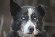 Sled dog Spencer of Team Ineka
