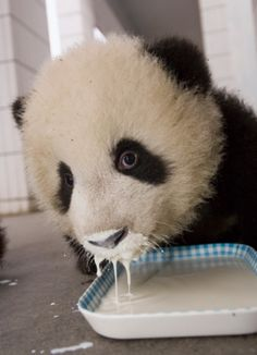 panda in milk Like Animals, Animals And Pets, Baby Animals, Adorable Animals, Fat Panda, Animal Pictures, Cute Pictures, Panda Bebe, Hello Panda