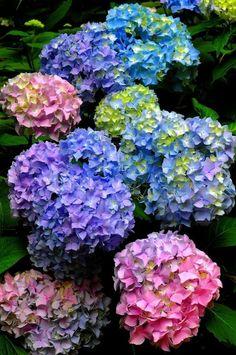 Hortensia Hydrangea, Hydrangea Care, Hydrangea Flower, My Flower, Hydrangeas, Amazing Flowers, Beautiful Flowers, Arte Floral, Flower Pictures