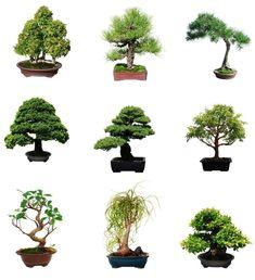 10 Mimosa (Albizia Julibrissin) Seeds, Rare Exotic Home Bonsai Tree Seeds Bonsai Ficus, Bonsai Soil, Juniper Bonsai, Bonsai Seeds, Tree Seeds, Bonsai Plants, Houseplant, Bonsai Apple Tree, Bonsai Tree Types