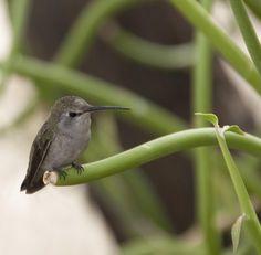 Sweet hummingbird at the Desert Botanical Gardens in Phoenix, AZ.