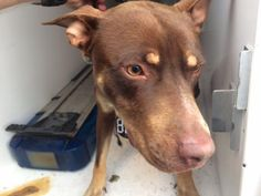 05/16/16--HOUSTON--- rescue only - super urgent - needs a humongous miracle to get out alive!! -- -EXTREMELY HIGH KILL FACILITY - MAVERICK - ID#A459128 My name is MAVERICK I am a neutered male, red and tan Pit Bull Terrier and Doberman Pinscher. The shelter staff think I am about 10 months old. I have been at the shelter since May 16, 2016. This information was refreshed 40 minutes ago and may not represent all of the animals at the Harris County Public Health and Environmental Services.