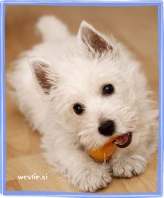 westie puppy tuyos kind of faces can kill me :3