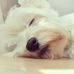 A little Westie nap