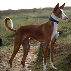 Izbian hound. An ancient breed.  These are really beautiful, can't wait to meet one.