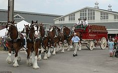 #Facts Assorted #Clydesdales are also used as animal actorsin television commercials for #Budweiser #beer, particularly in #SuperBowl #ads #comercials.