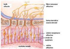 Analizatorul olfactiv Human Anatomy, Ale, Medicine, Respiratory System, Biology, Anatomy, Ale Beer, Human Body Anatomy, Ales