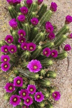 Solutions To Show That Pest Command Products And Services Are Useful For That Individuals Xeriscape Paradise, Hedgehog Cactus Beautiful Flowers, Planting Succulents, Blooming Cactus, Trees To Plant, Plants, Cacti And Succulents, Desert Flowers, Xeriscape, Cactus Garden