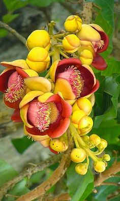 cannon ball flower, Beautiful gorgeous pretty flowers