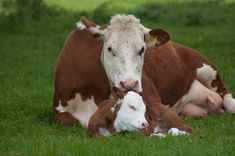 Adorable Photos of Cows and Their Calves That Will Warm Your Heart With Happiness - One Green PlanetOne Green Planet Farm Animals, Cute Animals, Hereford Cattle, Cow Photos, Pictures, Fluffy Cows, Beef Cattle, Cute Cows, Mothers Love