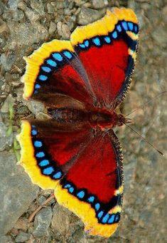 Different Types of Butterflies #Butterflies #Typesofbutterflies