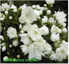 Boerenjasmijn, spring flowers, very sweet. Diy Garden Projects, Terracotta Pots, Container Plants, Spring Flowers, Amazing Gardens, Outdoor Gardens, Home And Garden, Garden Fun, Succulents