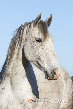New Zealand Kaimanawa horse mustered from the wild. Photo courtesy of Kelly Wilson. Cute Horses, Pretty Horses, Horse Love, Beautiful Horses, Dapple Grey Horses, Wilson Sisters, Horse Portrait, All About Horses, Wild Mustangs