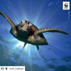 #Repost @wwf_turkiye with @repostapp.  Haftanın Fotoğrafı: Yeşil deniz kaplumbağası (Chelonia mydas) Büyük Mercan Resifi Avustralya  Bugün Dünya Kaplumbağa Günü!  #wwf #wwf_turkiye #kaplumbağa #turtleday #turtle #cheloniamydas #denizkaplumbağası #greatbarrierreef #gbr by dogaelcisi http://ift.tt/1UokkV2