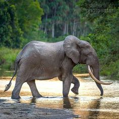 African Forest Elephant, Wildlife Conservation, Republic Of The Congo, Wildlife Photography, Mother Earth, Mammals, Survival, Ivory, Elephants