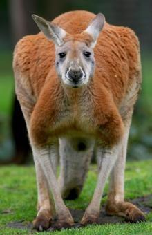 Red Kangaroo so cute #MinneapolitansUnitedAgainstHellsKitchen