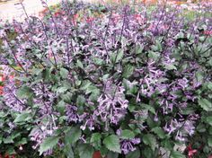 plectranthus ground cover