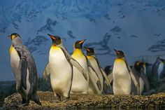 Penguins and Kiwis are the special cases of Bird's class since they can't fly which is the basic trait of winged animals. Kiwis have small wings while Penguins have Flippers in the place of wings, With the assistance of the Flippers, penguins can swim in the water. #penguin #penguinfacts #EmperorPenguin #Galapagospenguin