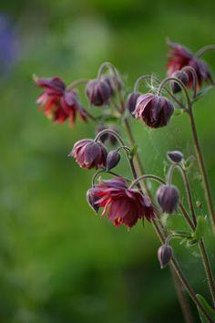 En Trädgårdsälskares betraktelser: Växtporträtt