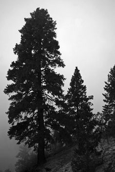 """Pine Tree Silhouette, mountain evergreen black and white lonesome 12"""" x 18"""""""
