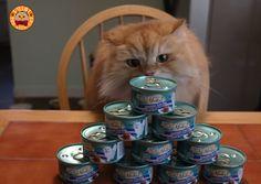 Luigi the Lion Cat Loves Tuna