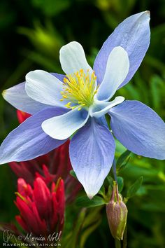 ☀Columbine by Raven Mountain Images on 500px