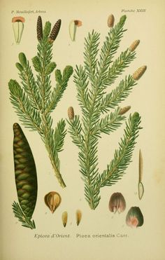 img / trees shrubs drawings / designs spruce trees and shrubs 0099 to orient - spruce orientalis.jpg