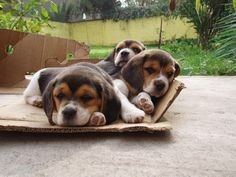 Are you interested in a Beagle? Well, the Beagle is one of the few popular dogs that will adapt much faster to any home. Cute Beagles, Cute Puppies, Dogs And Puppies, Baby Beagle, Beagle Puppy, Pet Dogs, Dog Cat, Doggies, Dog Pictures