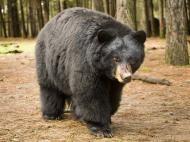 real bear walk front