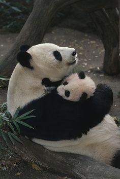 Panda Mom hugs Baby panda.
