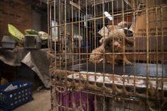 Este es B.B., un caniche de criadero que se ha pasado la vida encerrado en una jaula en un sótano. El criadero, en Carolina del Norte, fue asaltado y desmontado el pasado septiembre por la Sociedad…
