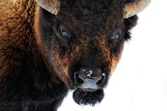 """Bison Yellowstone Park. 500px / Photo """"The Devil"""" by Richard Peters"""