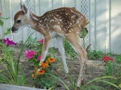 Deer Resistant Flowers - Top 10 Flowers for your Landscape (although if I saw this little Bambi munching in my flowers I may let him stay ;))
