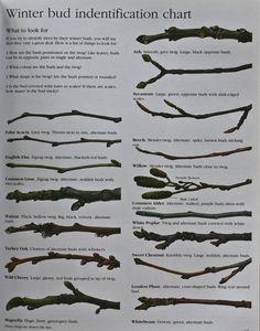 Winter Tree bud Identification Chart … – My Favorite