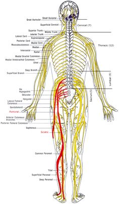 34 Best Spinal L1 to    L5    images in 2019   Anatomy  physiology  Gross anatomy  Muscle anatomy