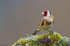 Goldfinch, Carduelis carduelis - Goldfinch