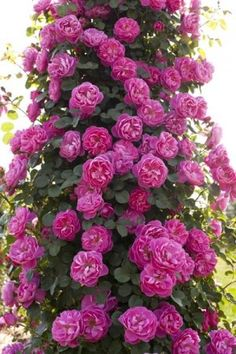 Allegro : Climbing Rose : Meilland                                                                                                                                                                                 More