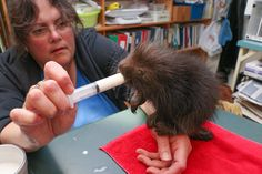 Rescued Baby Porcupine Gets A Midnight Syringe Feeding At Wildlife Rescue Center