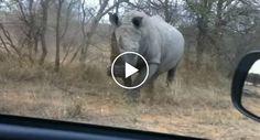 Rinoceronte Ataca Carro De Turistas No Kruger National Park